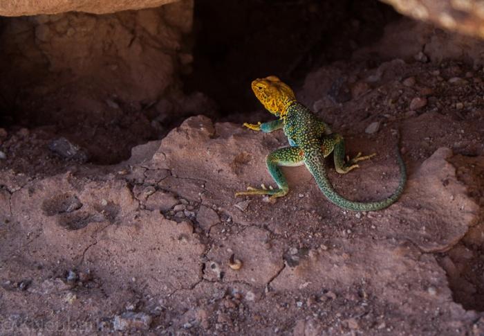 Blue Collared Lizard 3